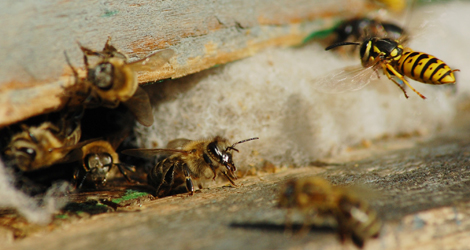 Bees-&-Wasps-Control
