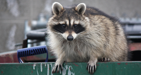 Raccoon-Control