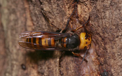The-Giant-Japanese-Hornet