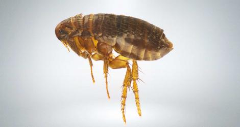 flea-removal
