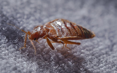 How To Get Rid Of Bed Bugs Gta At Home Fast