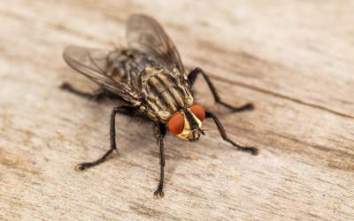 do bed bugs fly vaughan flying ants pest control vaughan. Black Bedroom Furniture Sets. Home Design Ideas