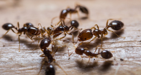 Why Do Ants Invade Your Home? Top Three Reasons
