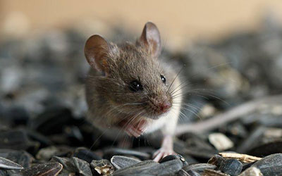 How To Identify A Rodent Infestation?