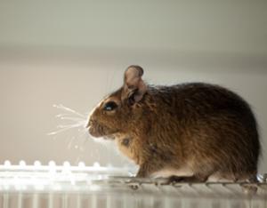 Rodent Control Toronto