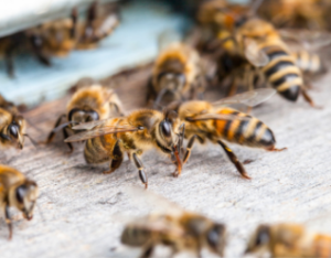 Bee Removal Toronto