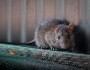 Rat extermination inVaughan