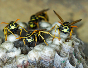 Wasp Nest Removal Toronto